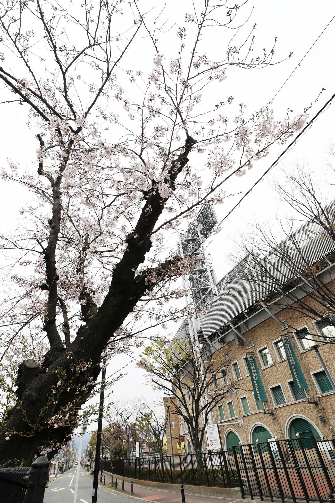 甲子園球場周辺には桜が咲き誇っている(撮影・加藤哉)