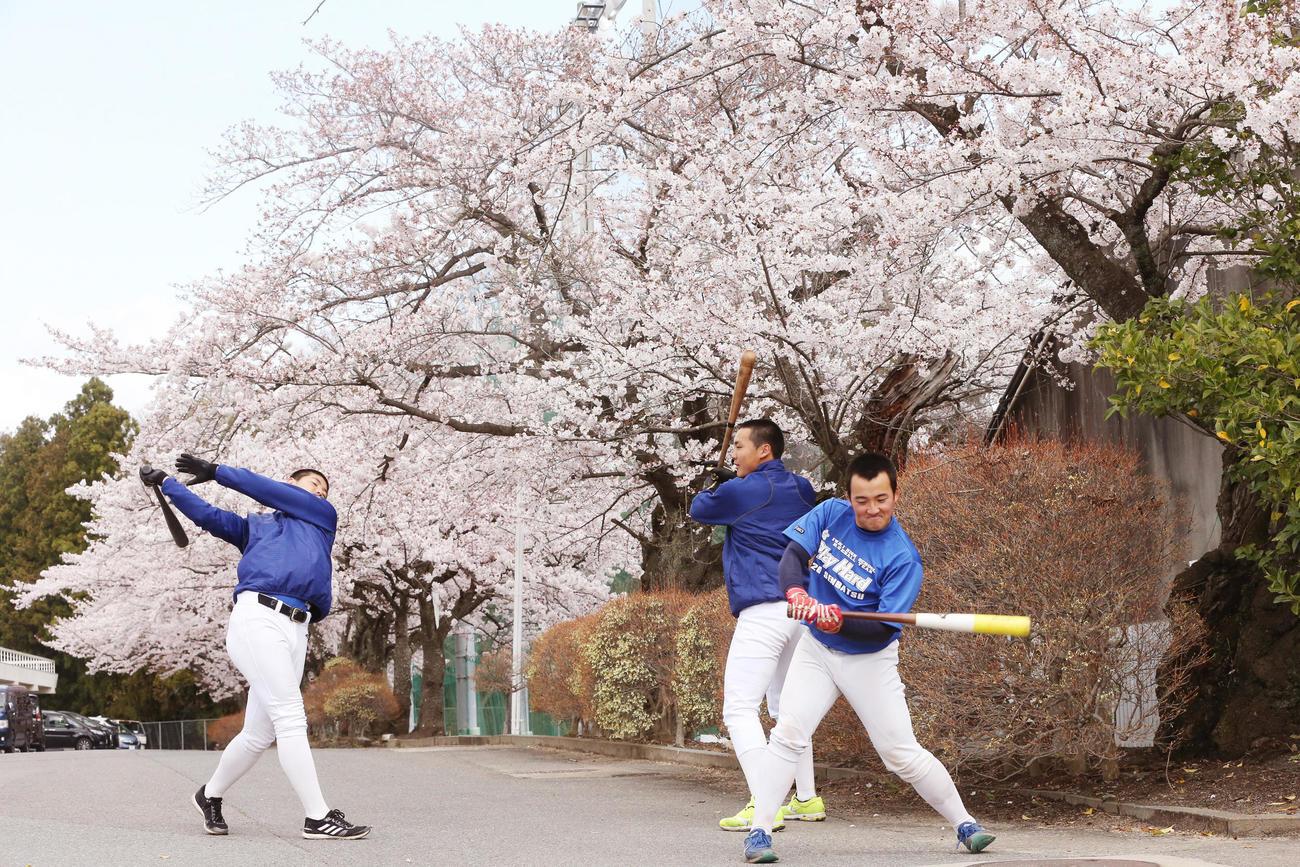 桜の下で素振りをする磐城の選手たち。左から竹田、小川、柳沢(撮影・野上伸悟)