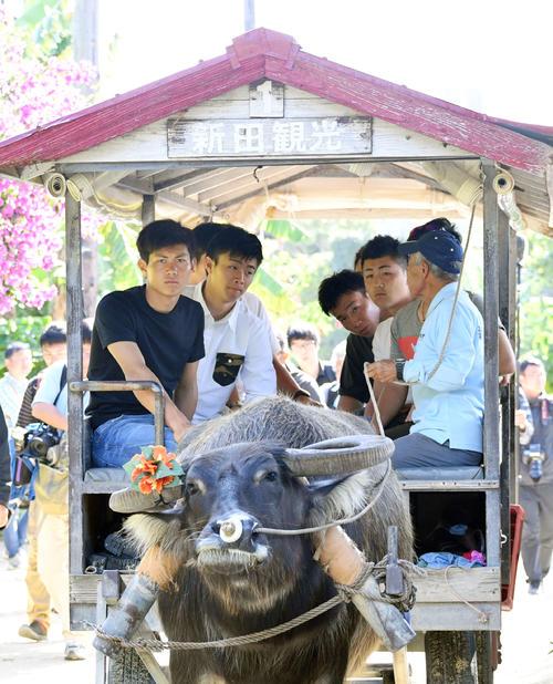 休日で竹富島を訪れ牛車に乗るロッテ藤原(手前左)ら新人選手(撮影・滝沢徹郎)