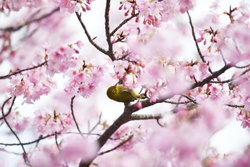 巨人の宮崎キャンプが行われているサンマリンスタジアム外に咲いた河津桜を鳥がついばんでいた(撮影・加藤諒)