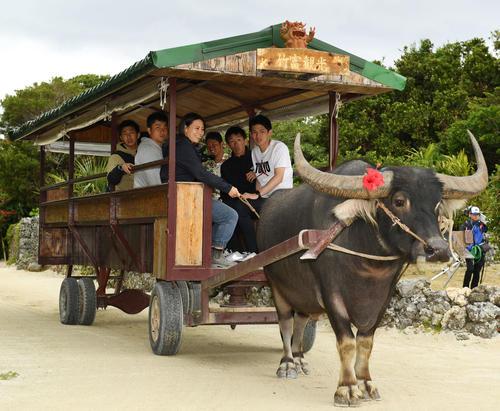 水牛車に乗り竹富島観光をする佐々木朗希(右)らロッテ新人選手たち(撮影・横山健太)