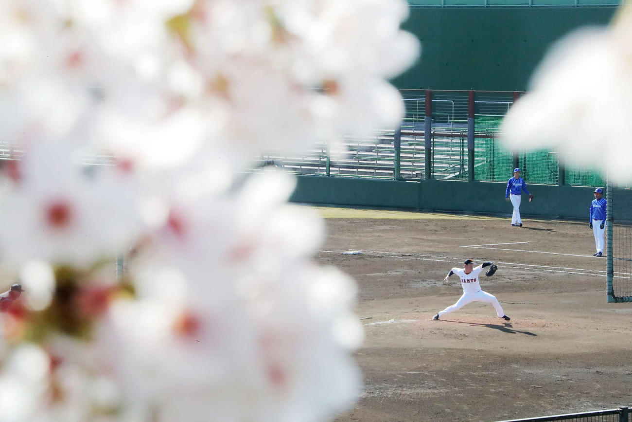 巨人対DeNA 桜満開のジャイアンツ球場で先発登板した巨人桜井(撮影・河田真司)