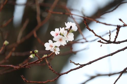 巨人戸郷が幼少期に遊んだ旭ケ丘運動公園の道中には、「ばか桜」と呼ばれる季節外れの桜が咲いていた(撮影・久永壮真)