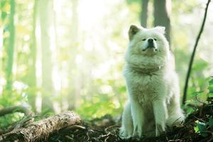 世界遺産の白神山地の中でたたずむ秋田犬「わさお」