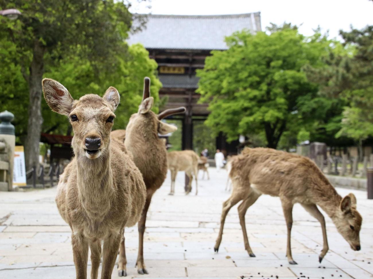 国の天然記念物に指定されている「奈良のシカ」(共同)