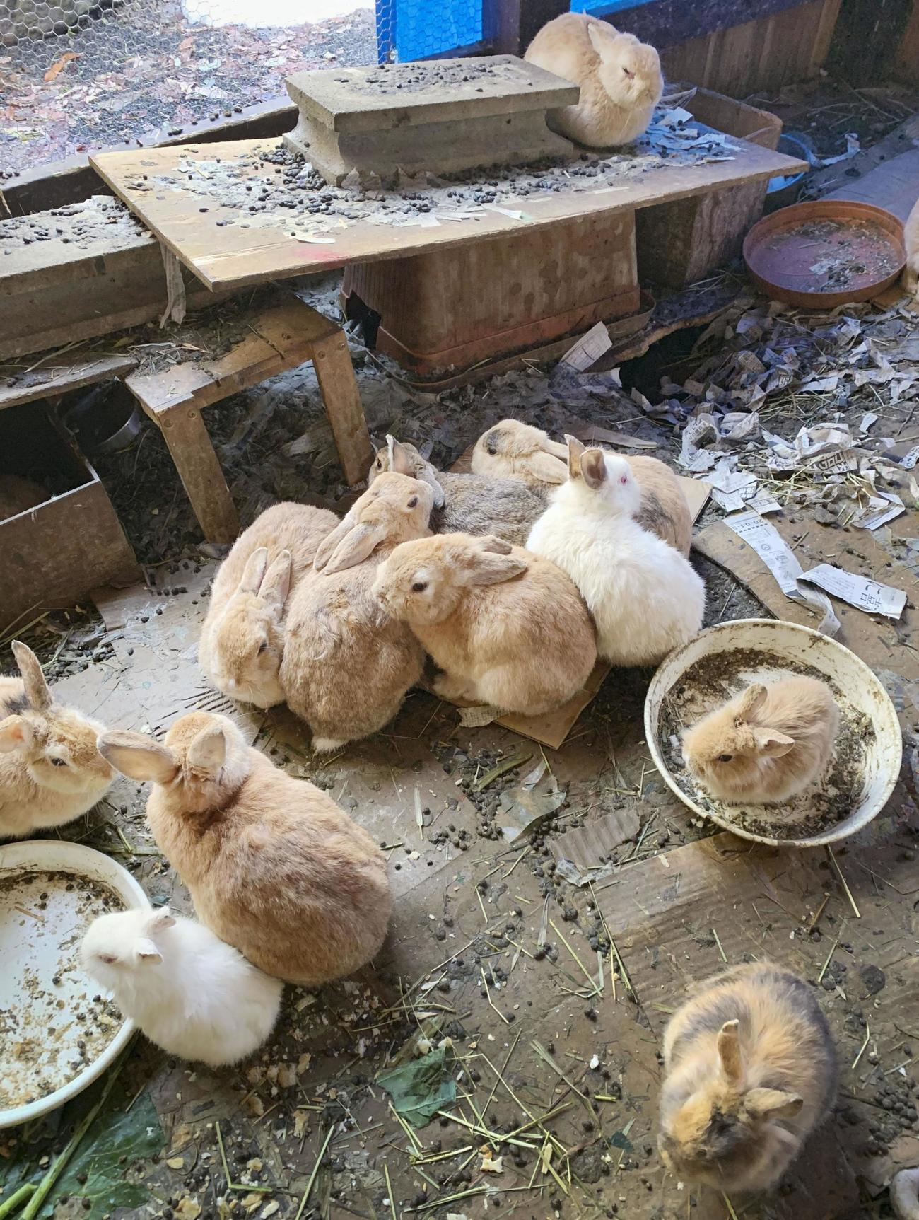 排せつ物が残る小屋の中で密集して生活するウサギ(共同)