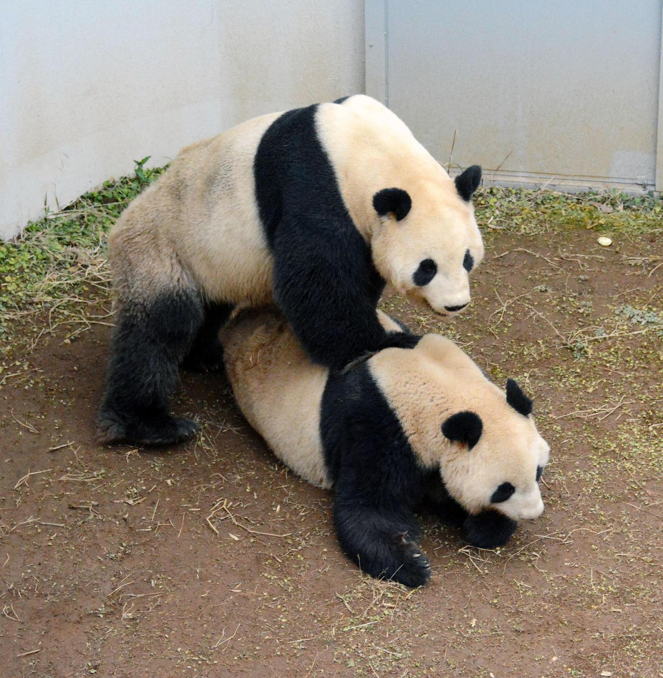 交尾のため、ジャイアントパンダの雌シンシン(下)へ近づく雄リーリー(東京動物園協会提供)