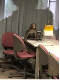 市立福岡女子高に侵入した猿(福岡市教育委員会提供)