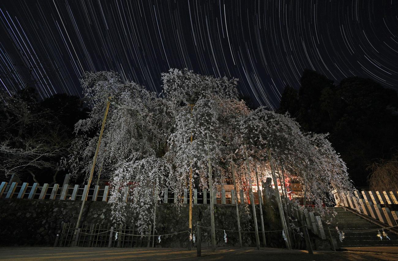 樹齢500年とも言われる小川諏訪神社のシダレザクラ。境内には静寂が広がり、幽玄な夜桜は星空の下で静かに花の盛りを迎えていた(撮影・加藤諒)