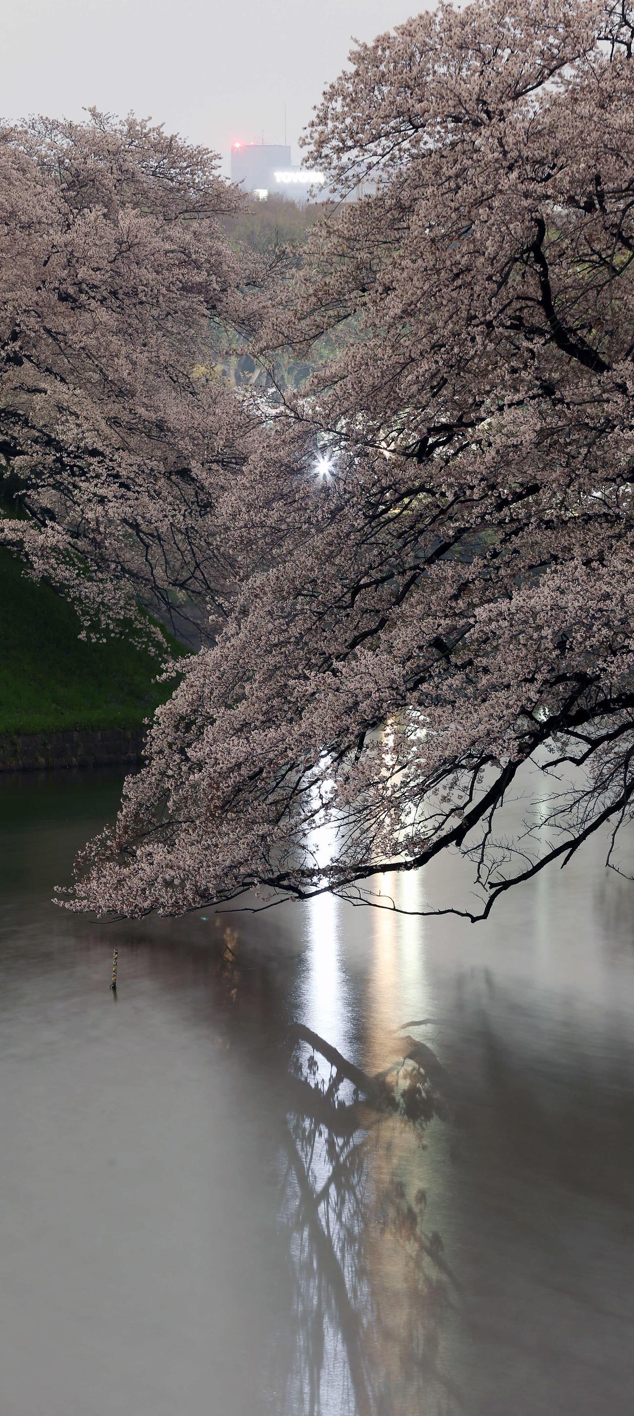 ライトアップはなく街の明かりに照らされる千鳥ケ淵の桜(撮影・河野匠)