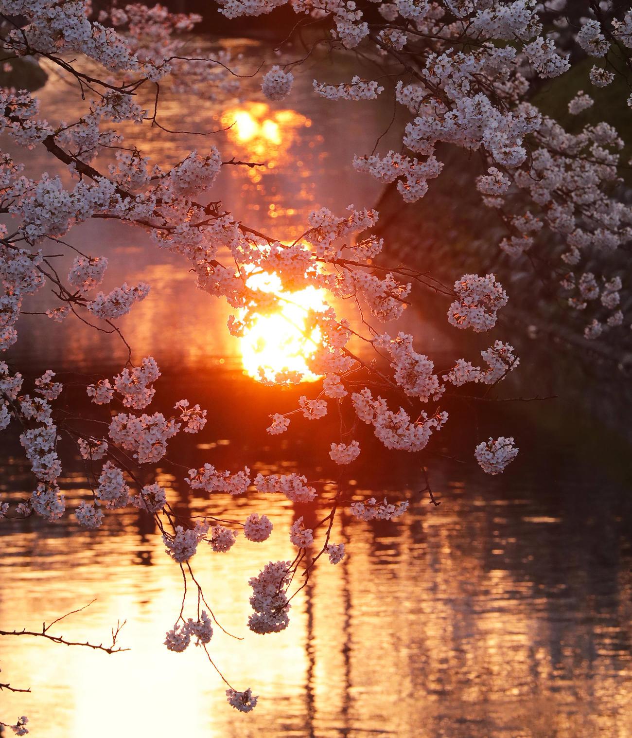 日没直前は太陽の光が松川の水面に反射し桜を赤く染める(撮影・垰建太)