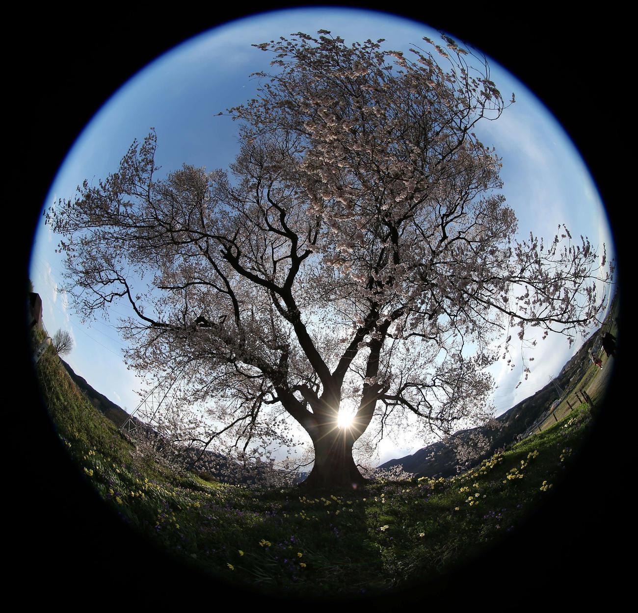 畑の中で1本、力強く咲くわに塚の桜(撮影・河野匠)