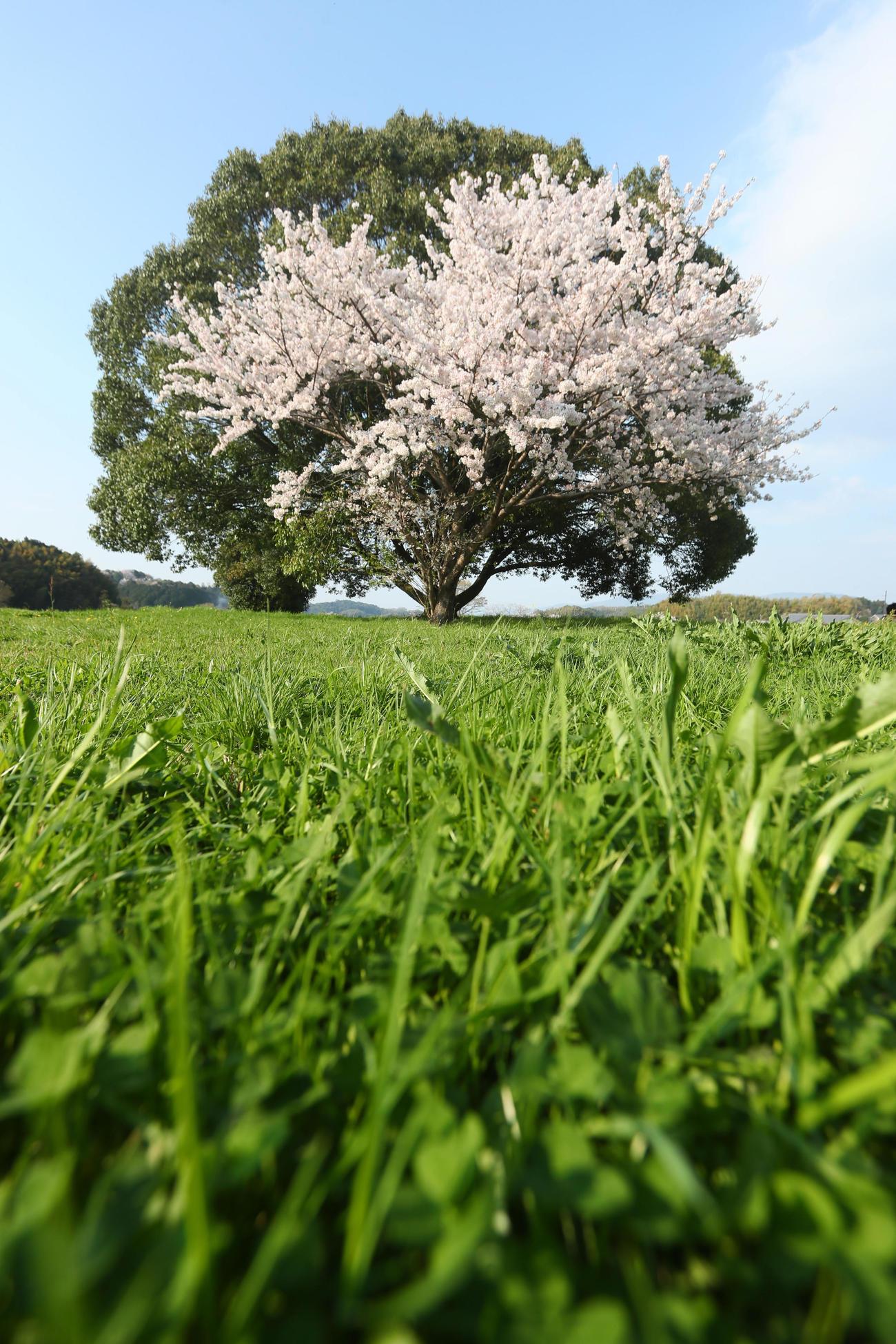 奈良県・明日香村の緑の木と寄り添うように咲く桜 (撮影・足立雅史)