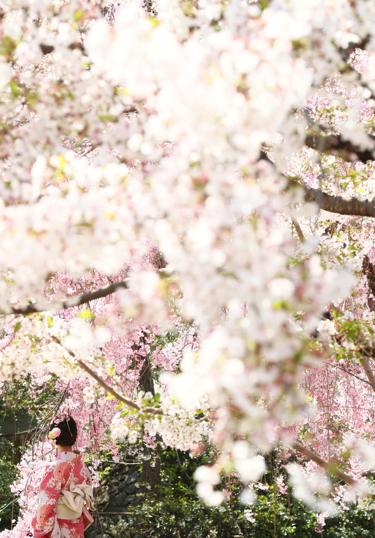 京都の桜が着物の女性を優しく包み込んだ(撮影・足立雅史)