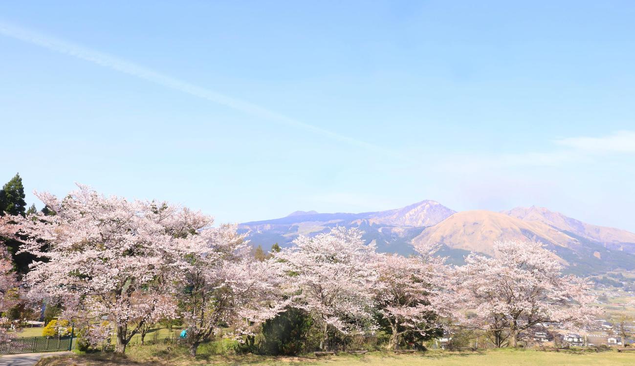 ほのかに煙を上げる阿蘇の山々を背に咲き誇る桜(撮影・垰建太)