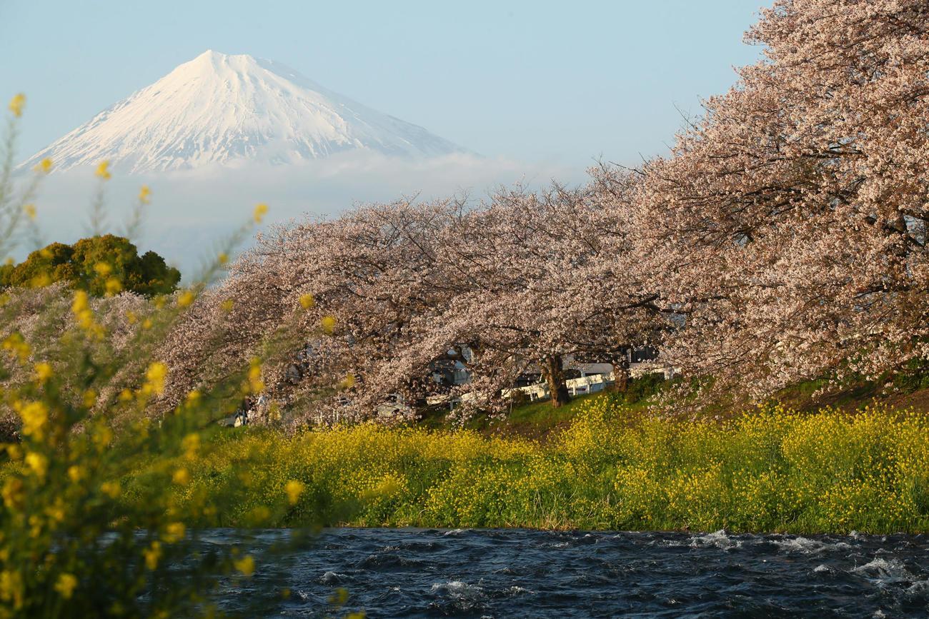 富士山を背に咲き誇る桜(撮影・足立雅史)