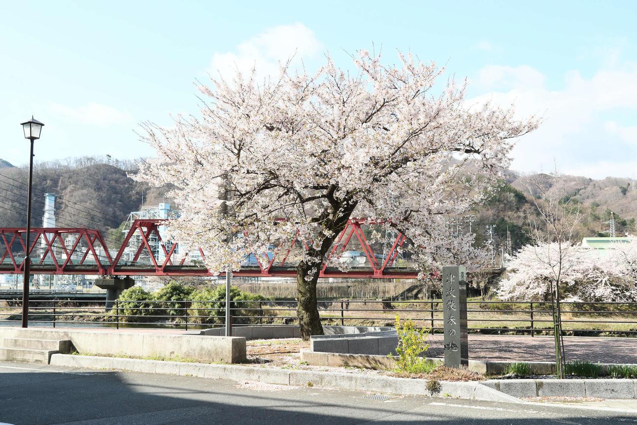 津波の被害を受けながら、今なお力強く咲く釜石市大渡町の一本桜(撮影・足立雅史)