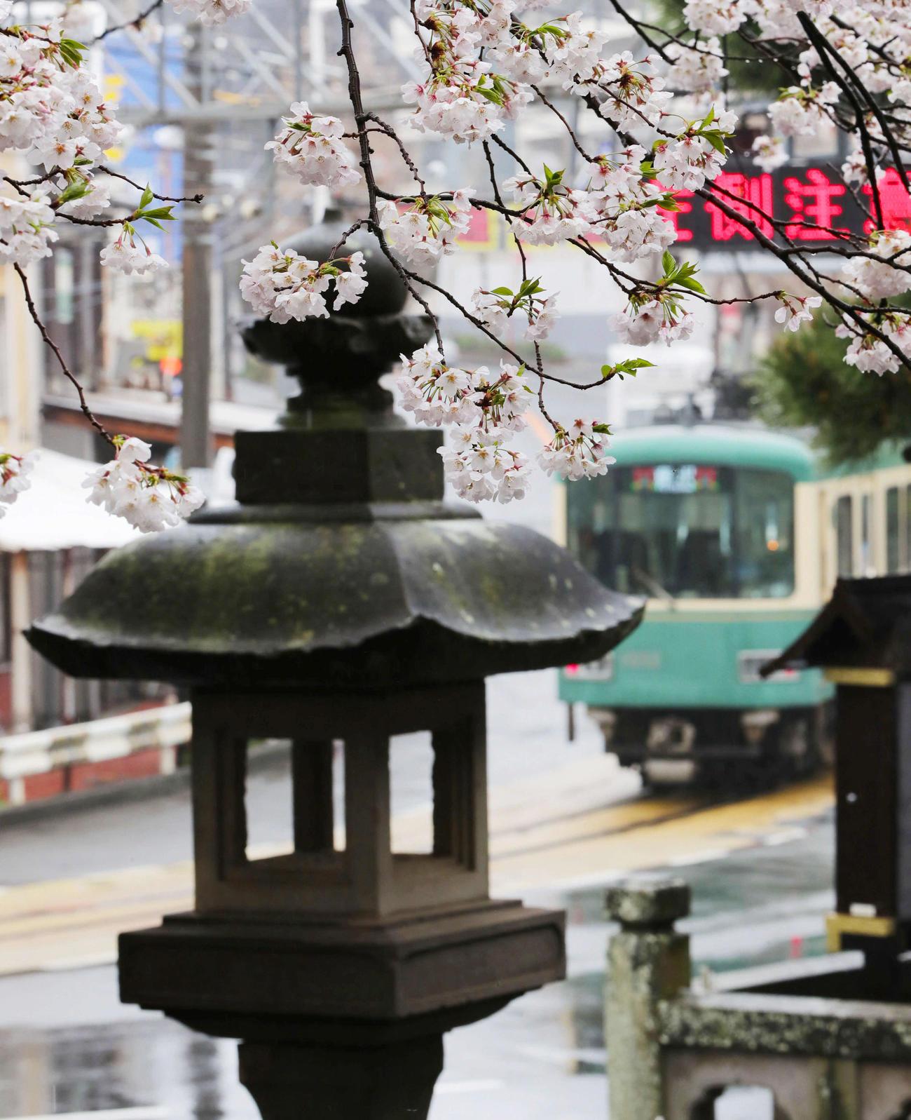 雨の中走る江ノ電を側で咲き誇る桜(撮影・垰建太)