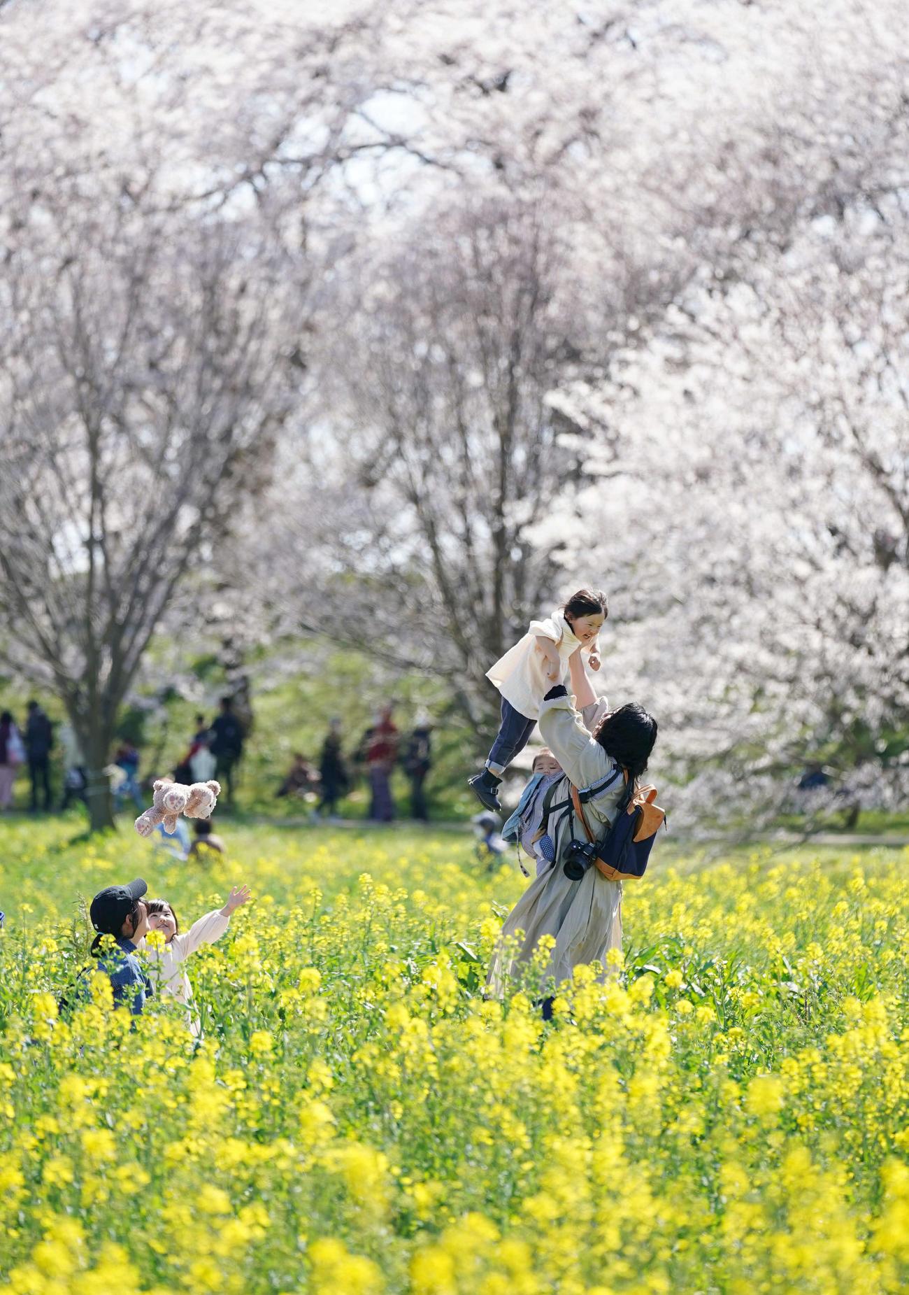 菜の花と桜並木が満開となった権現堂公園で、春を満喫する親子(撮影・加藤諒)