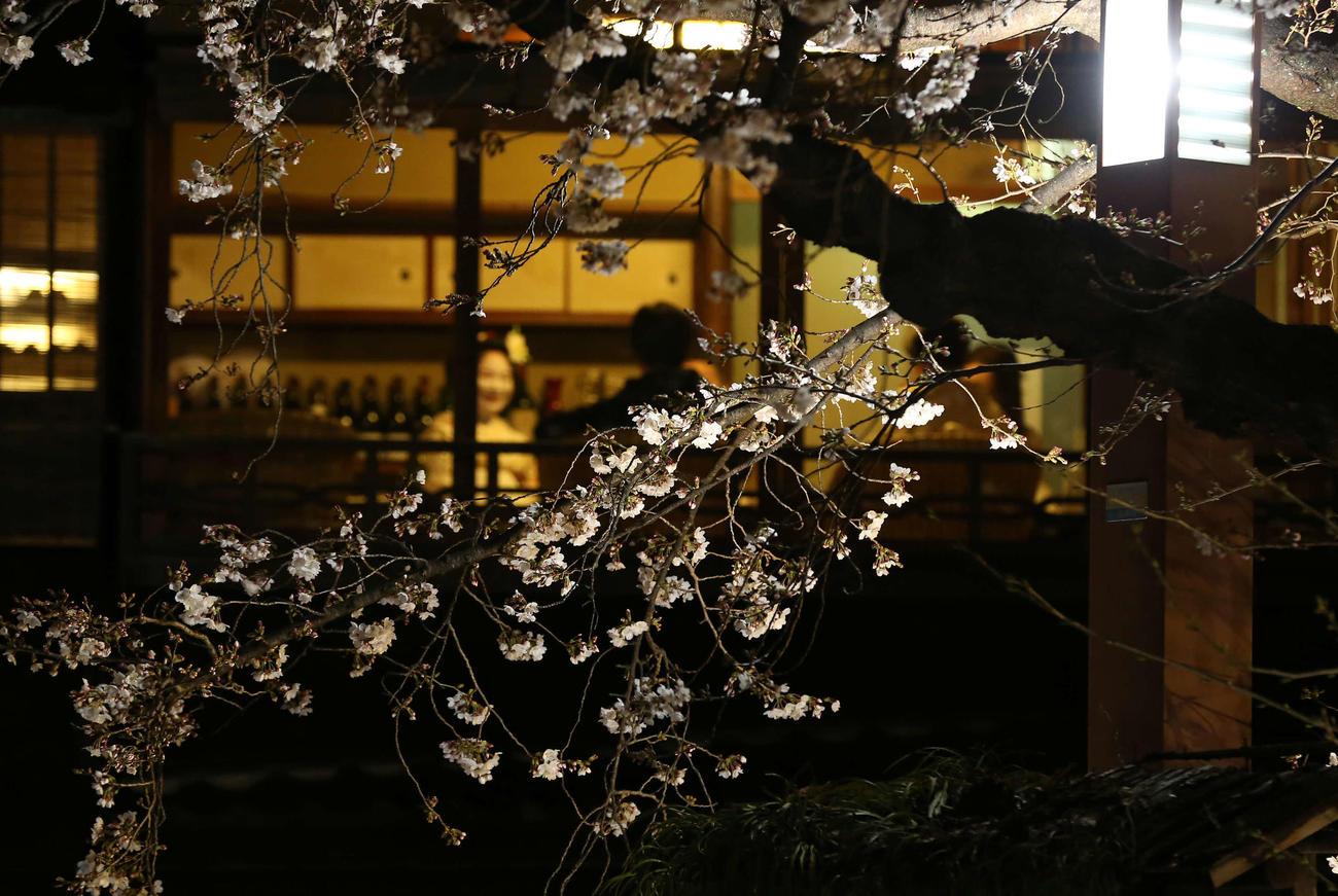 ライトアップされた祇園白川の夜桜(撮影・河野匠)