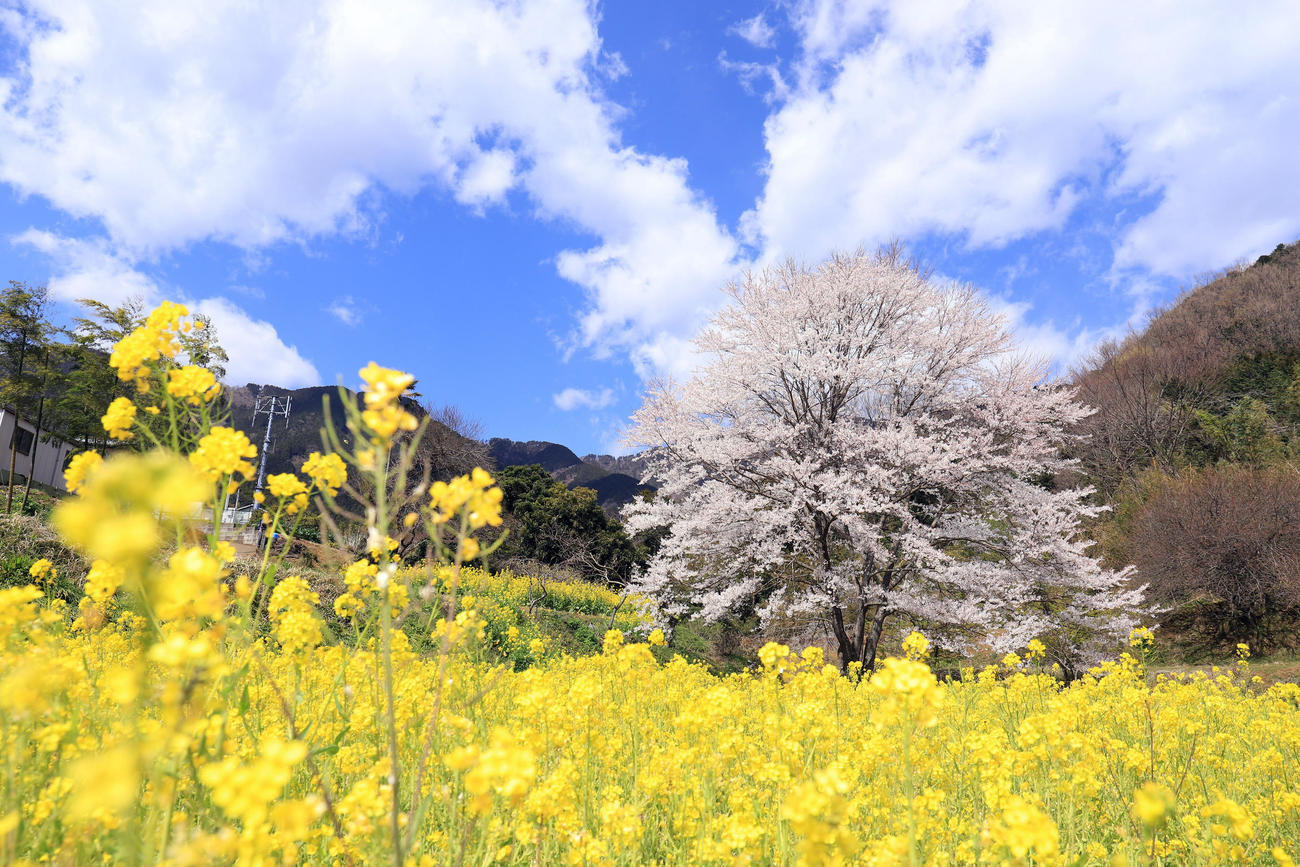 天気の良い日は青空を背に一面の菜の花畑と絶妙なコントラストを見せ圧倒的な存在感を放つ(撮影・垰建太)