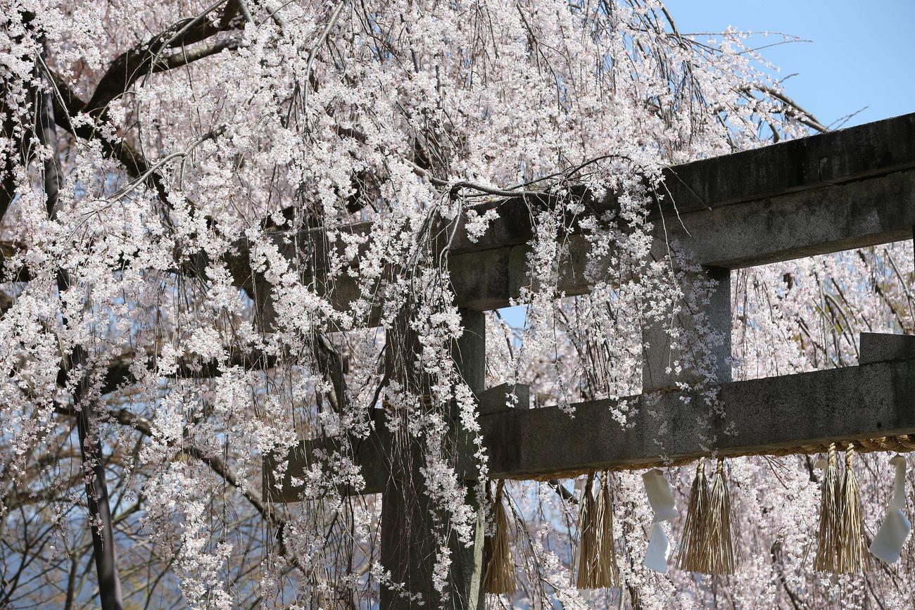 鳥居を覆うように咲き乱れる大石神社のしだれ桜(撮影・河野匠)