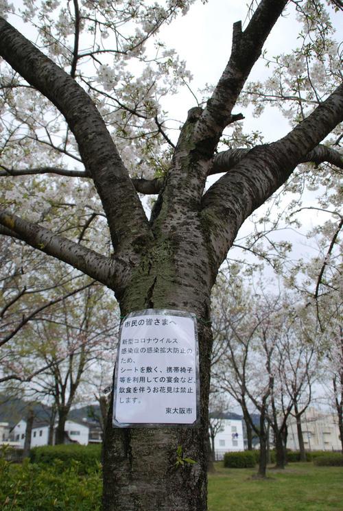花園中央公園の桜に掲示された「飲食を伴う花見は禁止」を伝える貼り紙(撮影・松浦隆司)