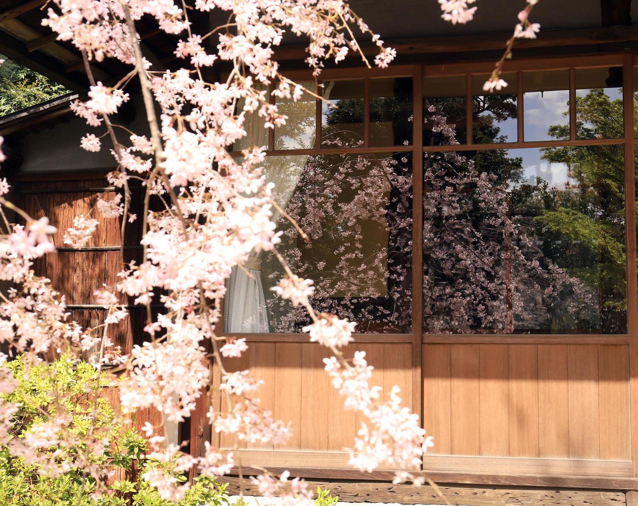 「壺中庵」の小窓にはしだれ桜が映り込み風情を感じさせる