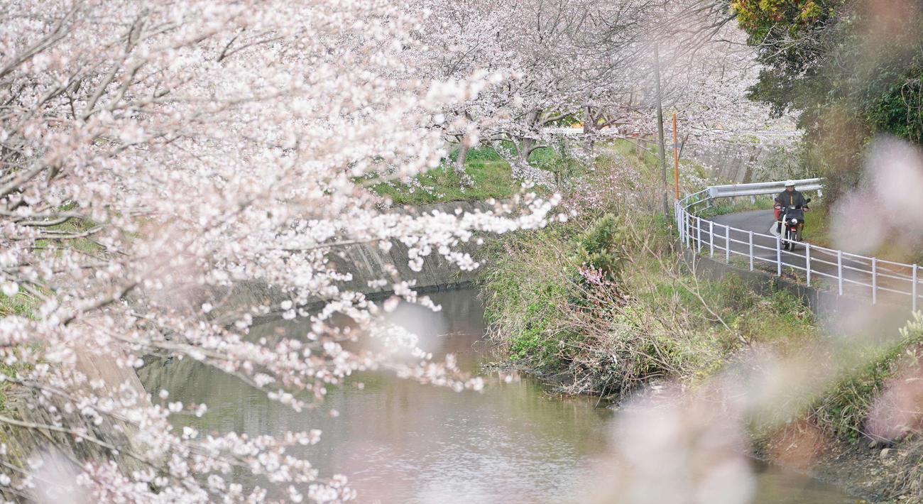 国道382号は対馬から南の壱岐島を通り、佐賀県唐津市へとつながる。国道沿いの美しい桜並木もきっと、島を越えて続いているのだろう(撮影・加藤諒)