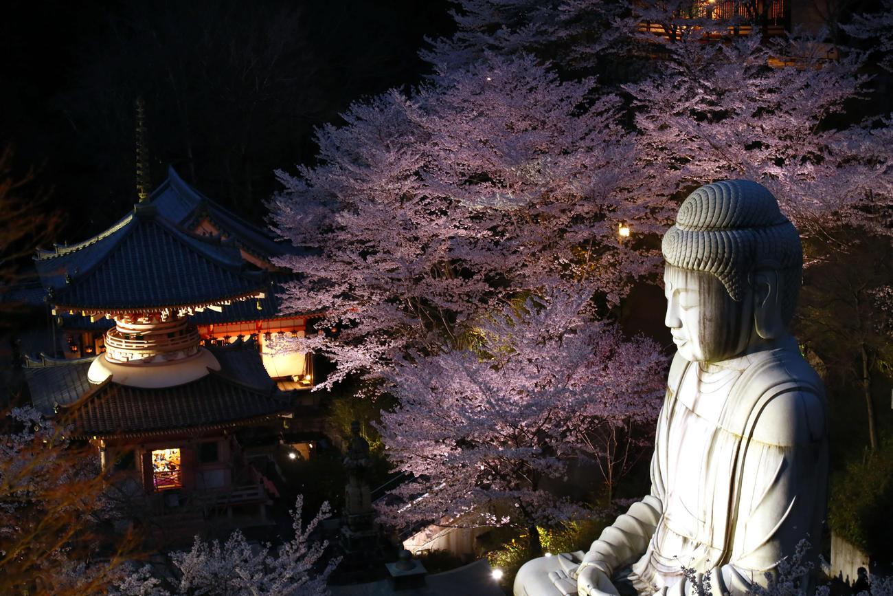 満開の桜の中、ライトアップされ幻想的な光景を見せる壺阪寺(南法華寺)の大釈迦如来石像(撮影・足立雅史)