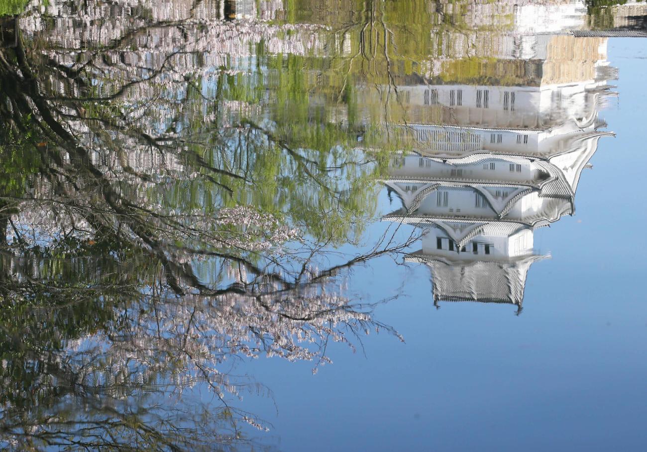 満開の桜と姫路城。このまま見るのも、逆さにして見るのもおすすめです(撮影・足立雅史)