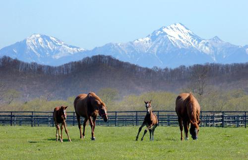 日高山脈を背にのんびり過ごす馬の親子たち(撮影・佐藤翔太)