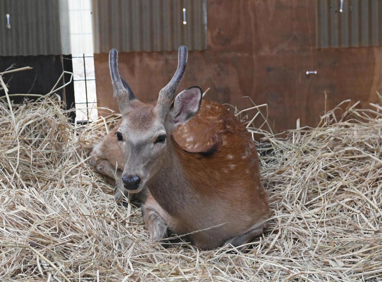 捕まった鹿は、足立区の施設でおとなしくなっていた(撮影・酒井清司)