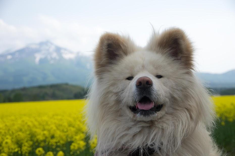 「ブサかわ犬」として人気だった秋田犬「わさお」