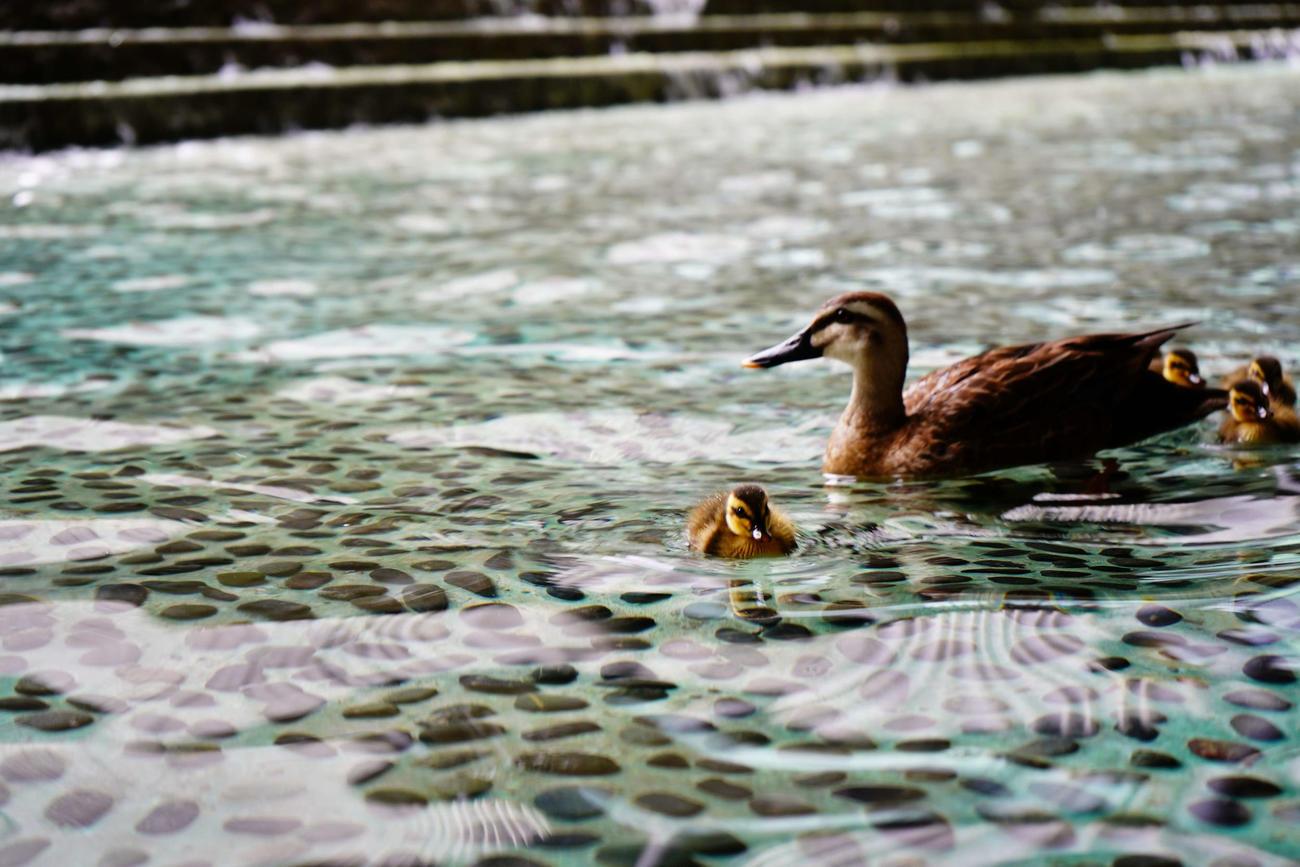 グランフロント大阪の人工池を泳ぐカルガモ親子(一般社団法人グランフロント大阪TMO提供)
