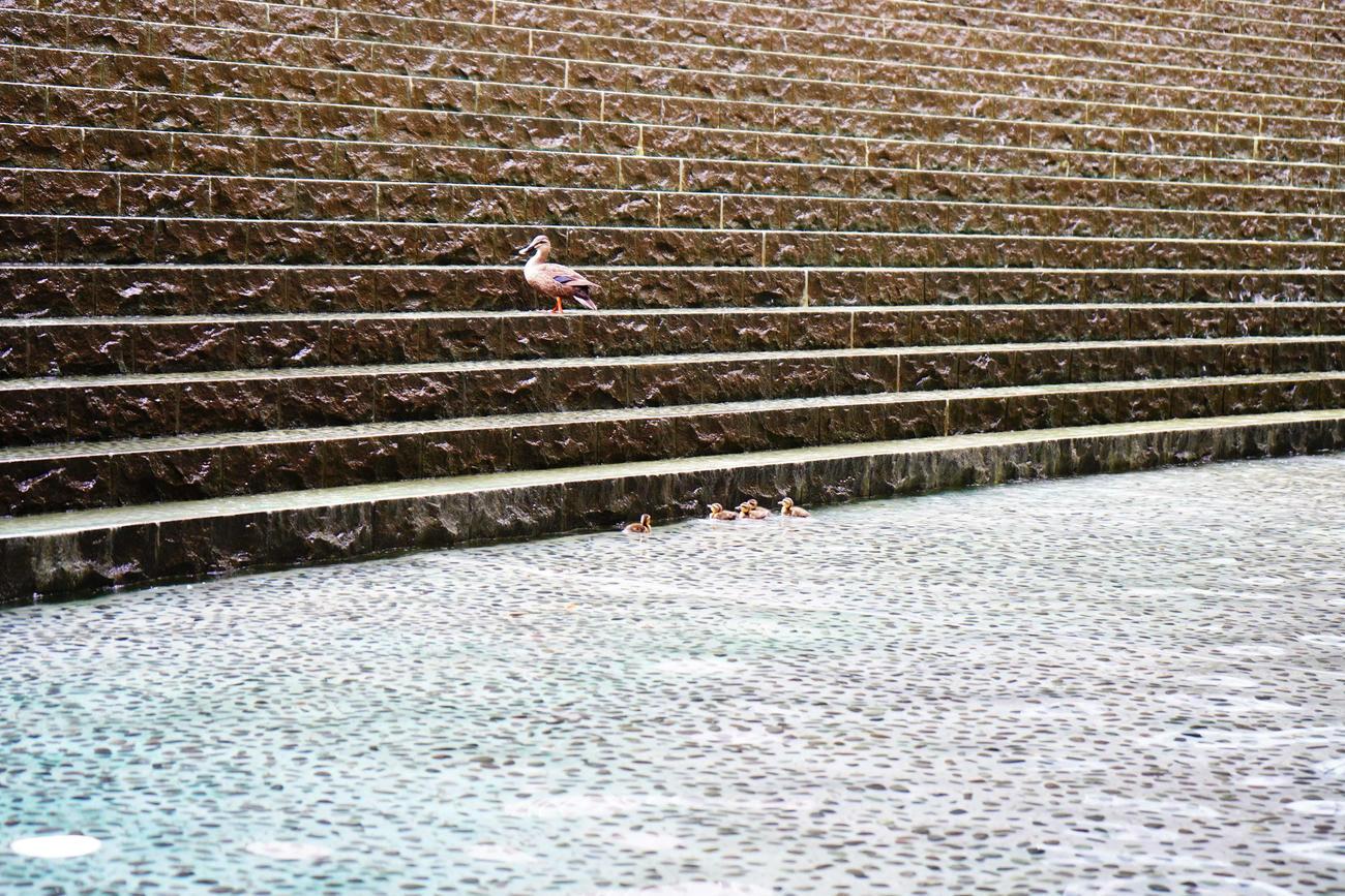 グランフロント大阪の人工池にいるカルガモ親子(一般社団法人グランフロント大阪TMO提供)