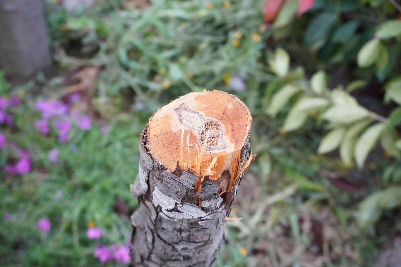 撮り鉄に人気の撮影スポット付近の住宅敷地内で、何者かに切られた木の断面(撮影・沢田直人)