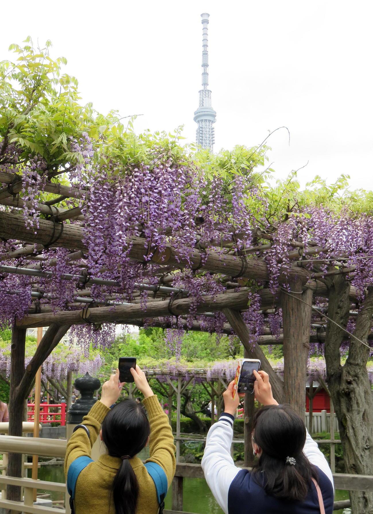 「藤まつり」が開催されている亀戸天神社の藤の花を東京スカイツリーと一緒に撮影する来訪者たち(撮影・鎌田直秀)