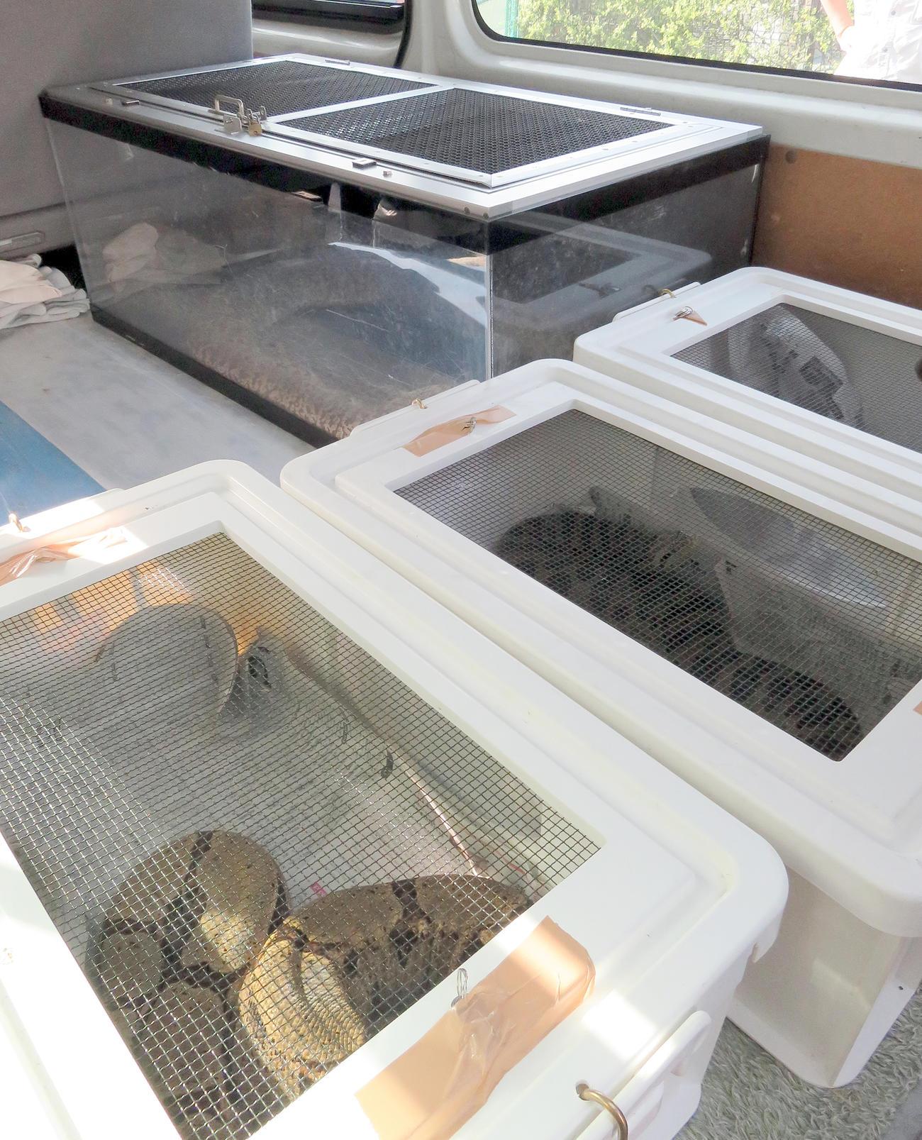 アミメニシキヘビの飼い主宅から積み込まれたビルマニシキヘビ(奥)やワニなど(撮影・鎌田直秀)