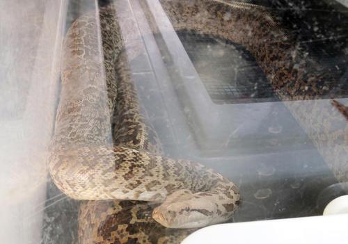 逃げ出したニシキヘビ…
