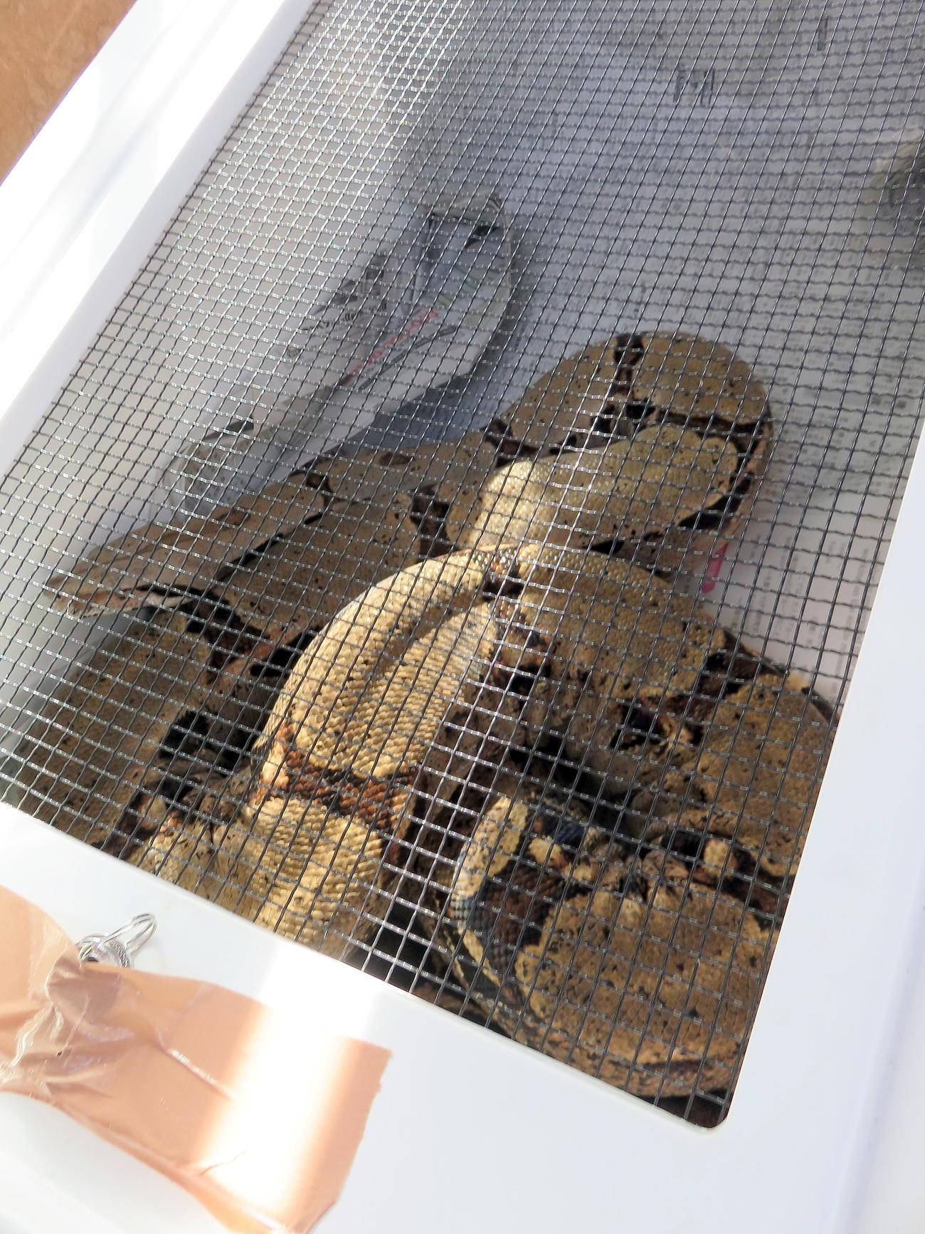 アミメニシキヘビの飼い主が爬虫類専門業者に譲渡したヘビ(撮影・鎌田直秀)