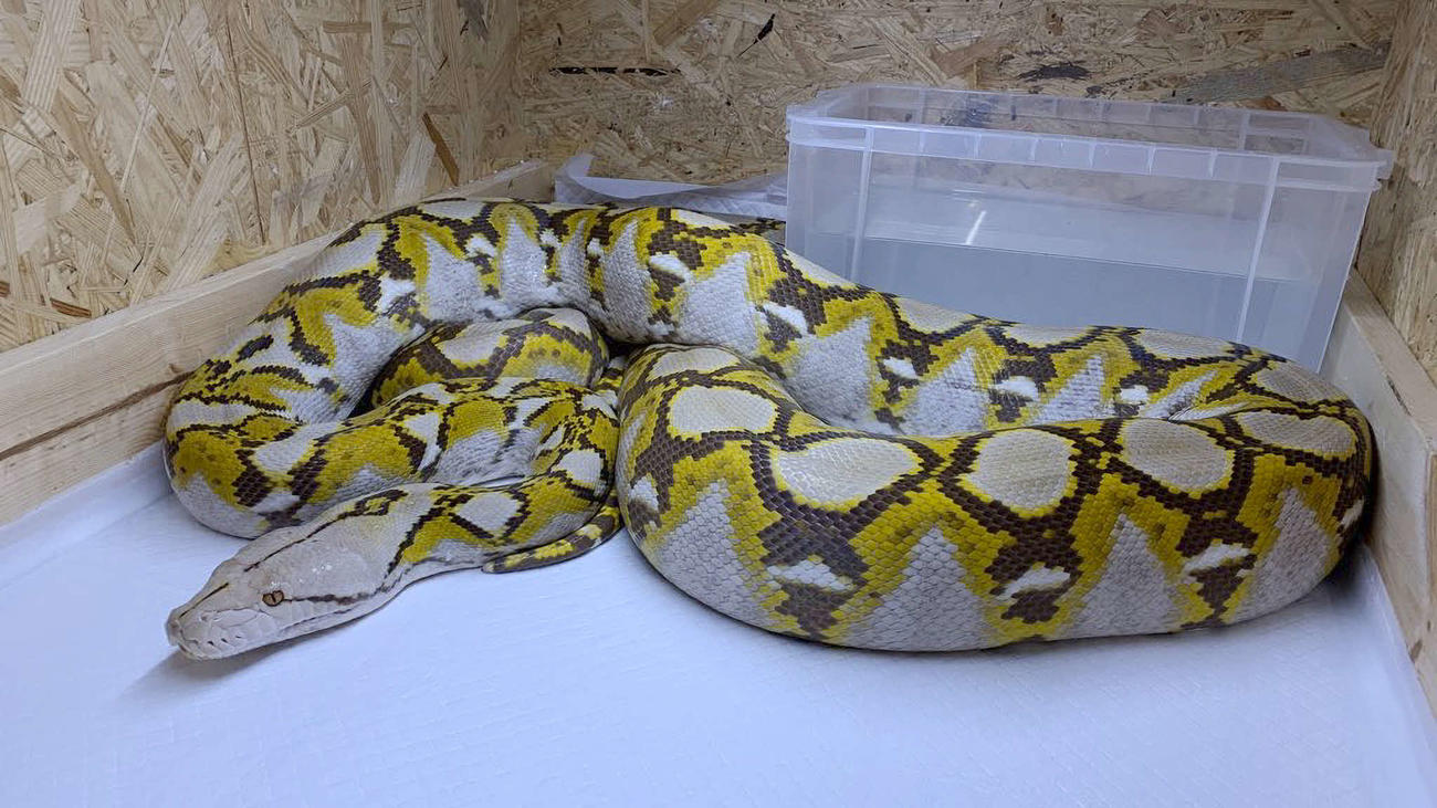 逃げ出したアミメニシキヘビ(飼い主提供)