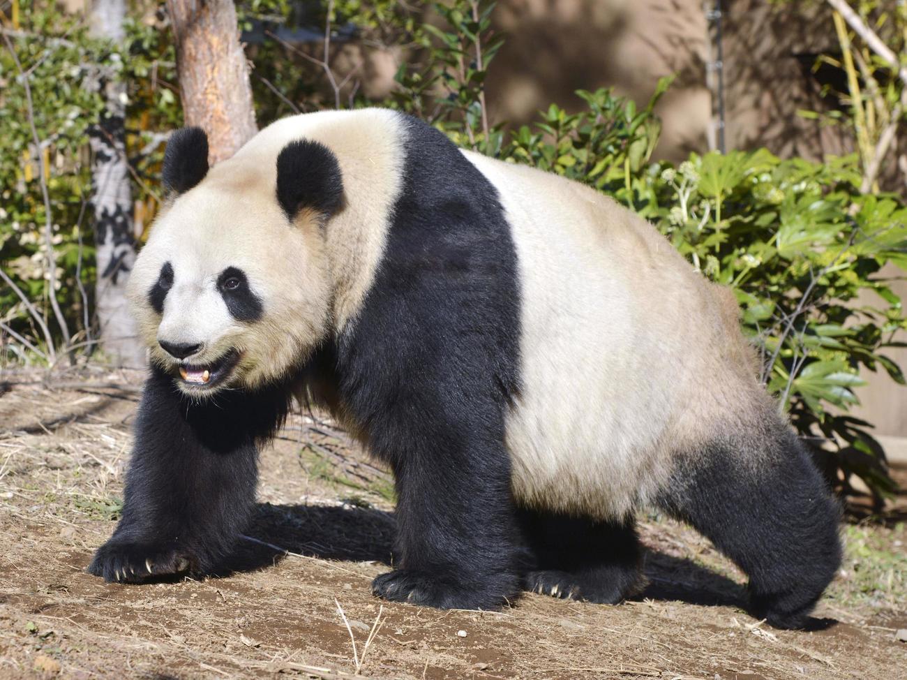 雌のジャイアントパンダ、シンシン(東京動物園協会提供=共同)
