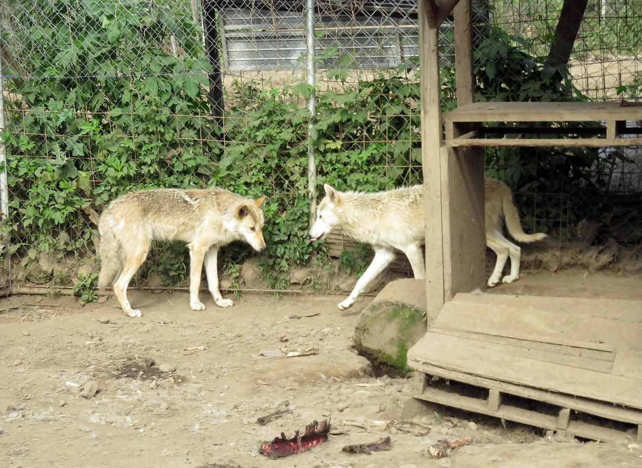 無事に捕獲されて犬舎に戻った2頭のオオカミ犬(撮影・鎌田直秀)