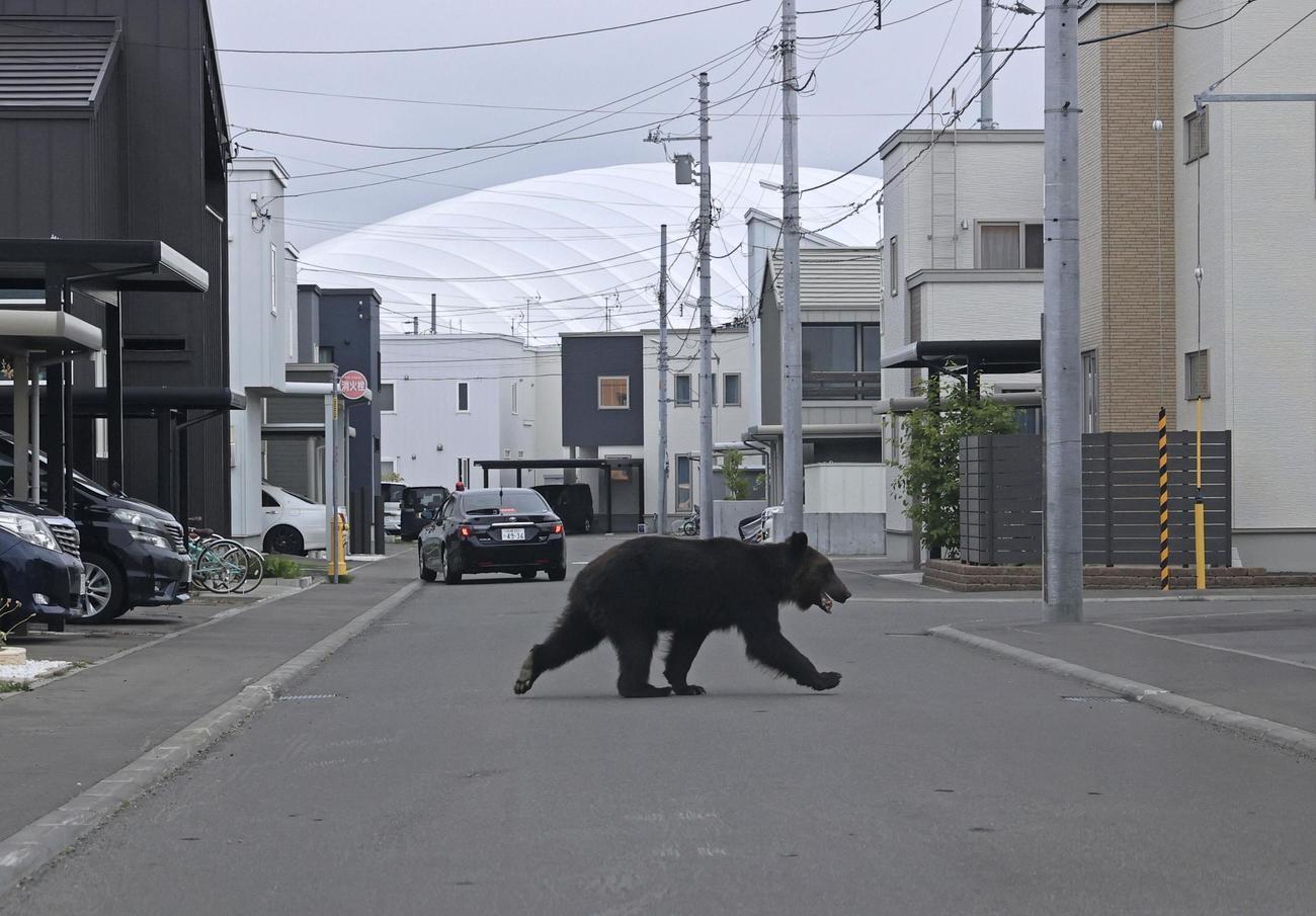 札幌市東区の住宅街を歩くクマ(北海道新聞社提供)