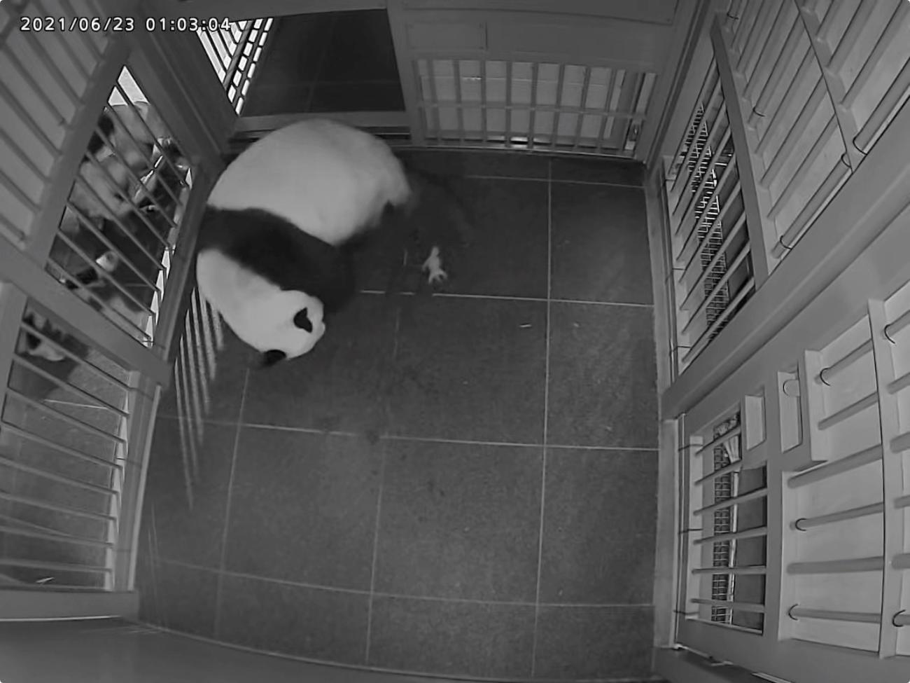 シンシンと生まれた直後の1頭目の赤ちゃんパンダ=6月23日午前1時すぎ(公財)東京動物園協会提供