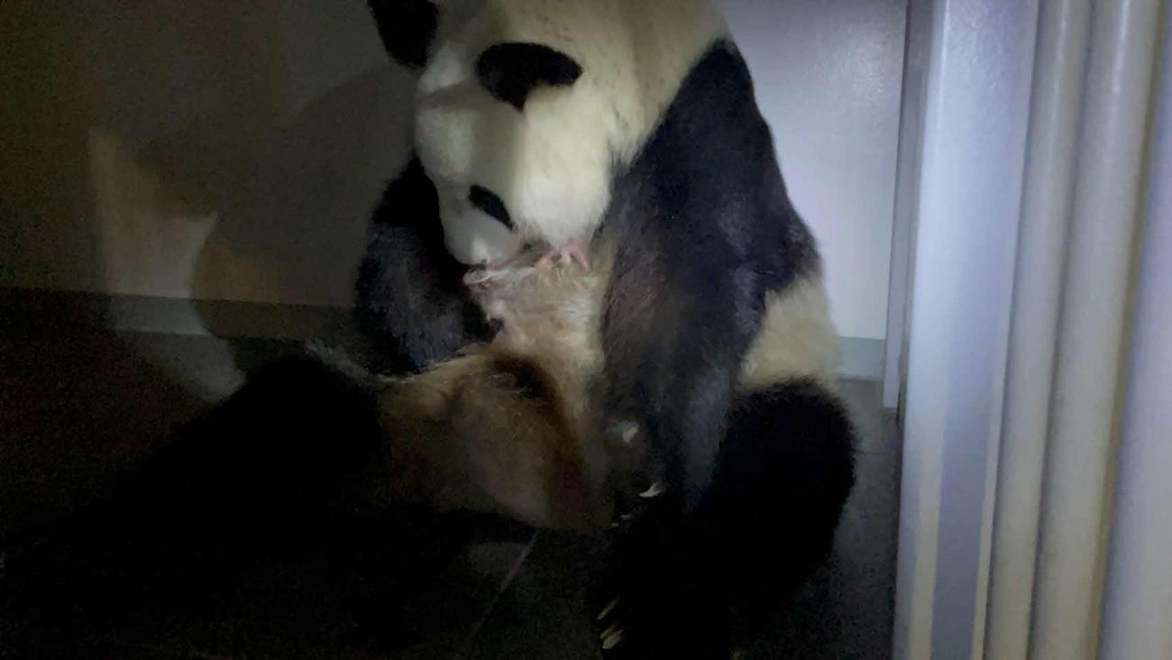 シンシンは生まれたばかりの赤ちゃんパンダを優しく抱えた=6月23日(公財)東京動物園協会提供