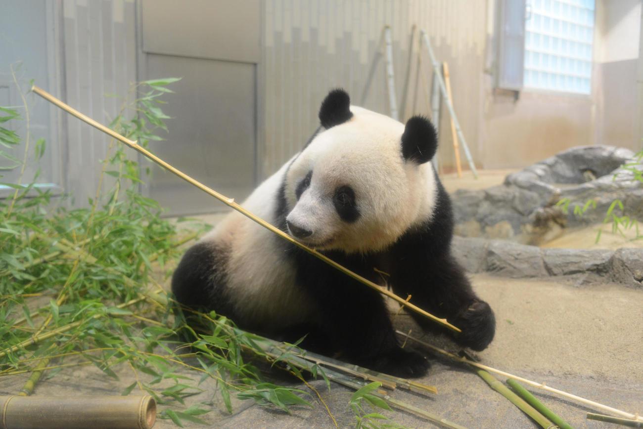 東京・上野動物園のジャイアントパンダ。お姉さんのシャンシャン。7月26日撮影(東京動物園協会提供)