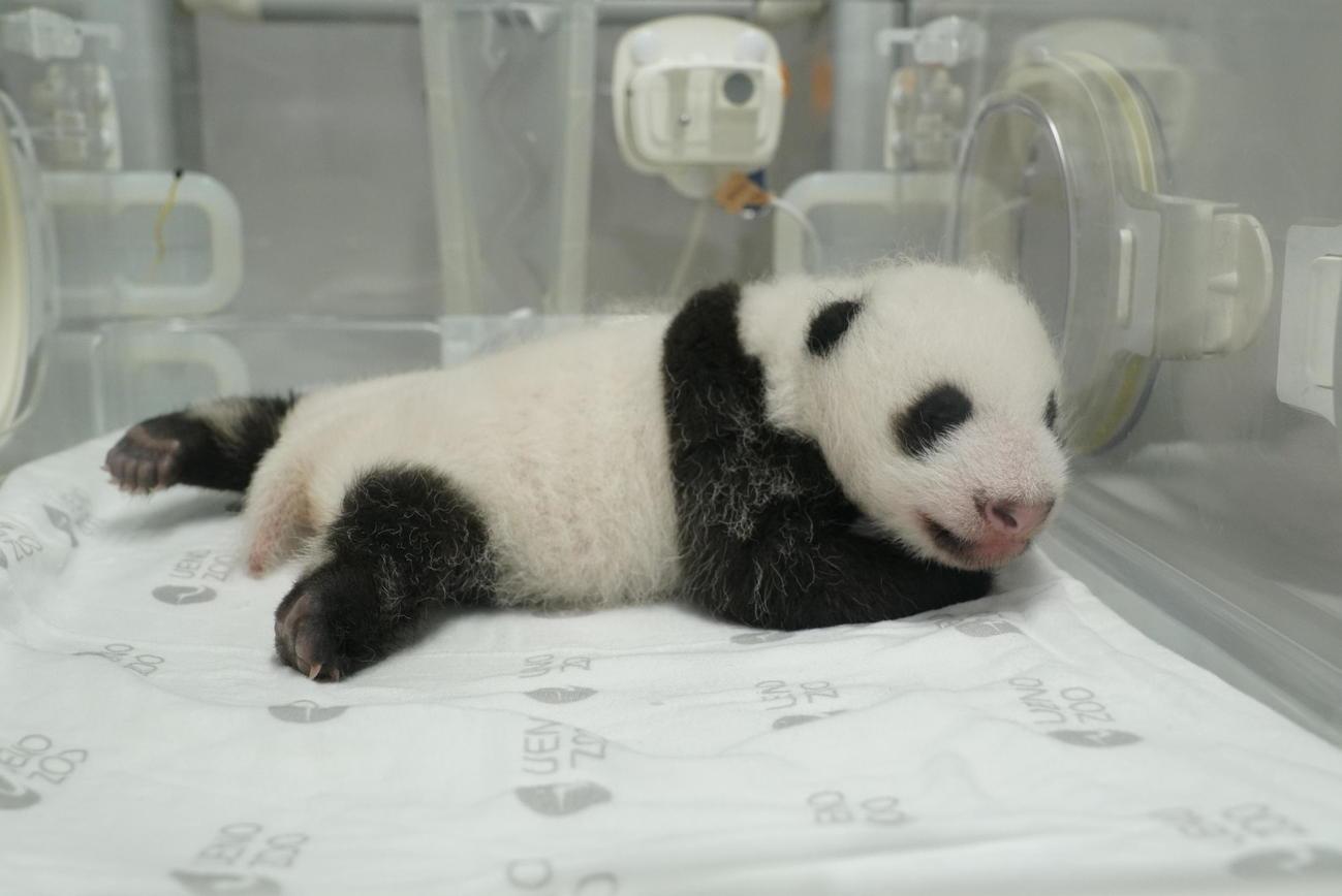 東京・上野動物園の双子のジャイアントパンダ。雌の赤ちゃん。8月2日撮影(東京動物園協会提供)