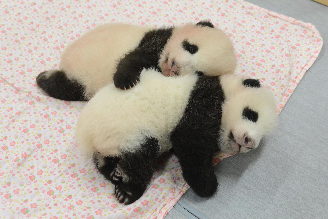 東京・上野動物園の双子のジャイアントパンダ。上が雄、下が雌。68日齢、8月30日撮影(東京動物園協会提供)